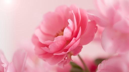 وردي  الوردة للجدران لايف 7 تصوير الشاشة