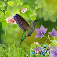 Hummingbirds wallpaper on 9Apps
