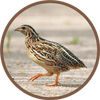 Quail Bird (Animal) Sounds icon