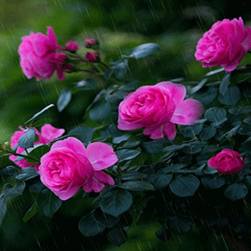 Rainy Pink Flowers LWP иконка