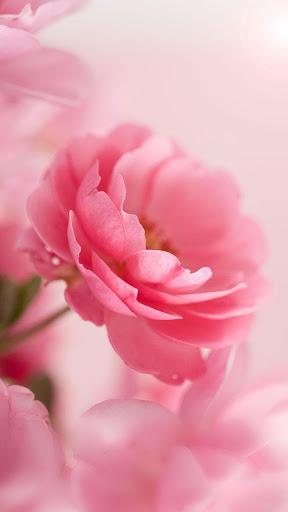 وردي  الوردة للجدران لايف 3 تصوير الشاشة