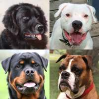 Dogs Quiz - Guess Popular Dog Breeds in the Photos on APKTom